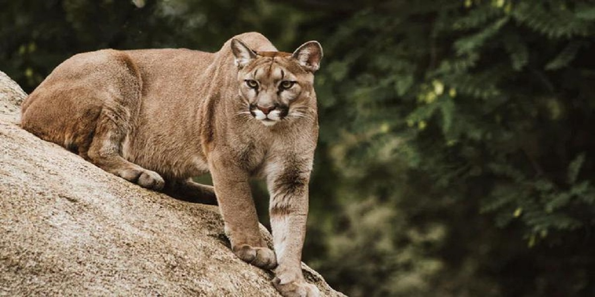 Mother protects her son from a mountain lion in California