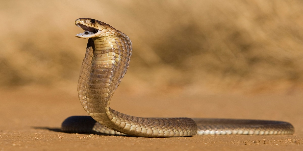 Cobra snake was discovered in the White House apartments