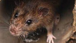 Face recognition technology will be used by pest controllers to catch rats