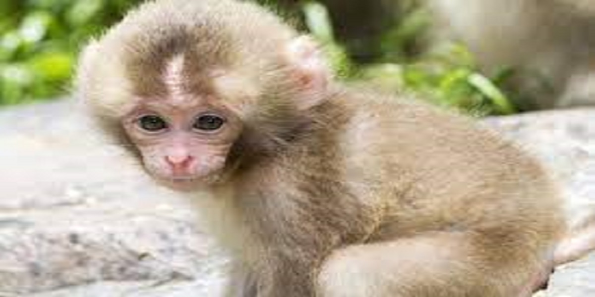 Baby Monkey Riding a Goat Has Received Over 12 Million Views