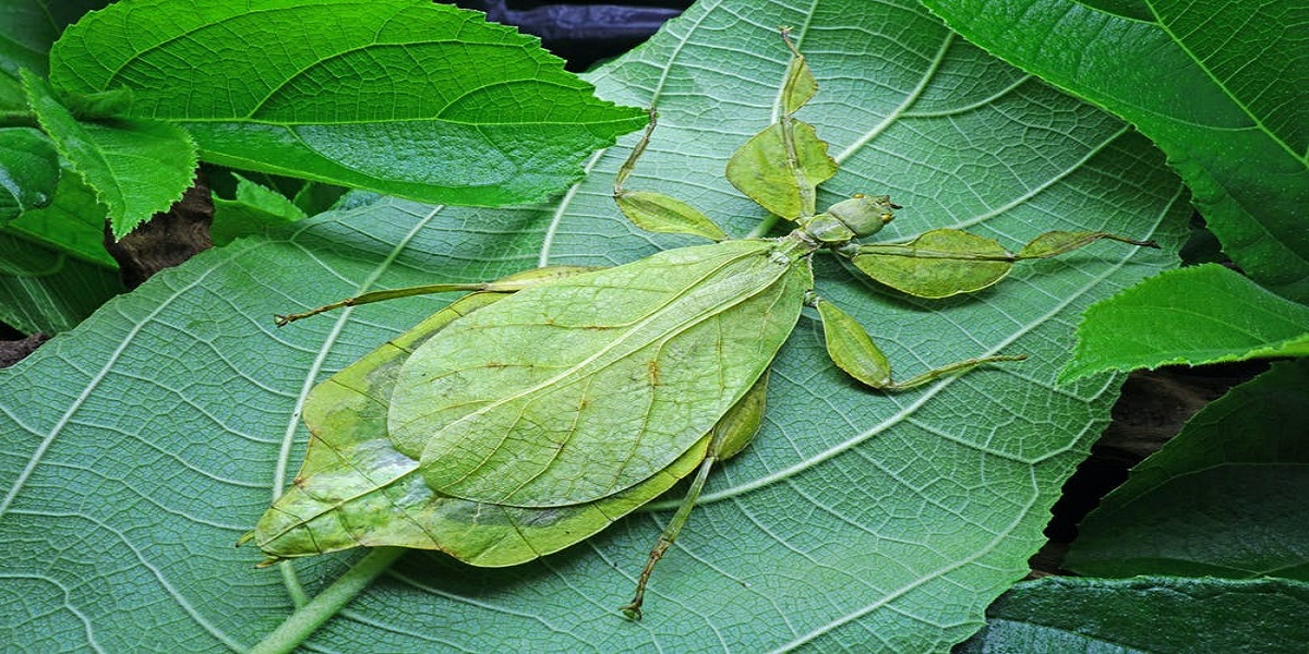 Is it a leaf or an insect? Watch the video to find out