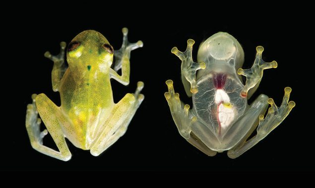 Glass frog with translucent skin found in Costa Rica
