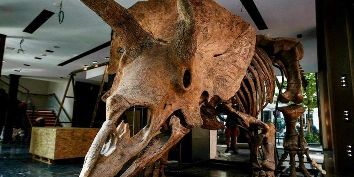 """The world's biggest triceratops """"Big John"""" on sale in Paris"""