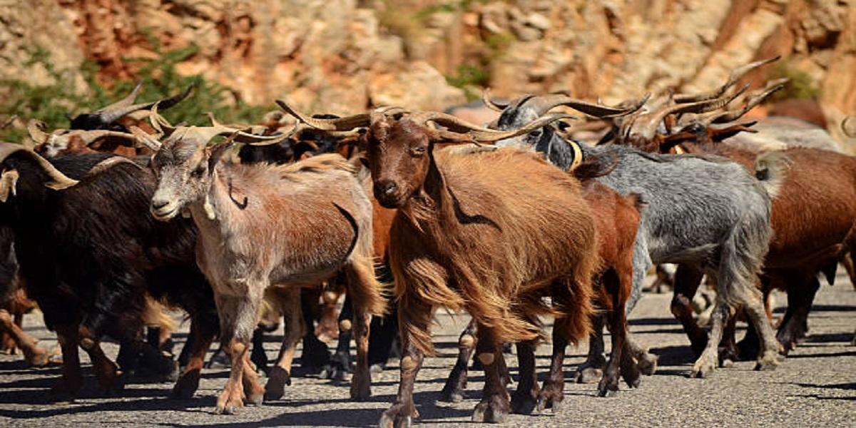 Herd of stray goats makes their way through a Georgia village