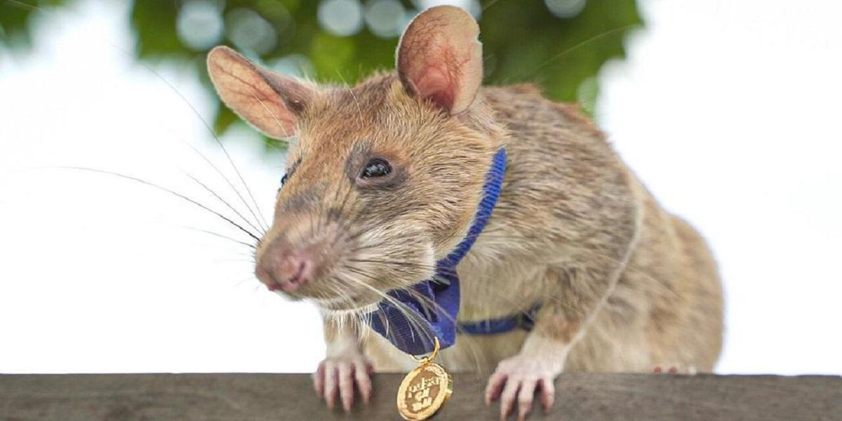 Cambodia: Lets meet Landmine-Detecting Rat 'Magawa'