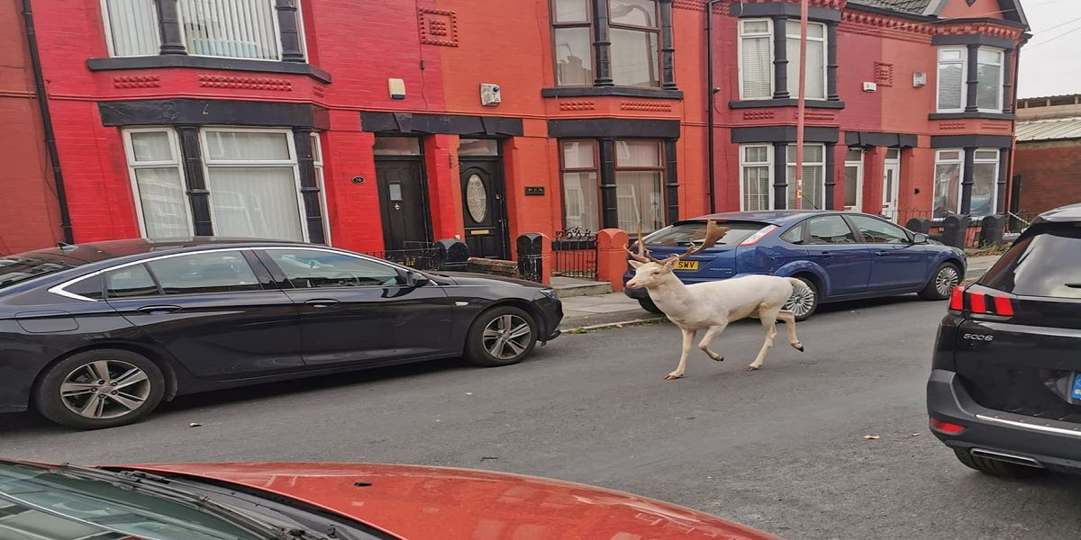 Rare White Stag killed by police officers after running wild