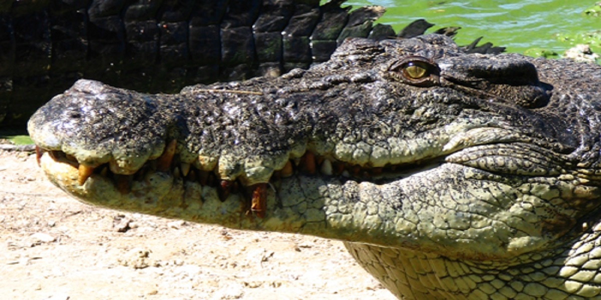 Lady shocked to see a crocodile in the back garden