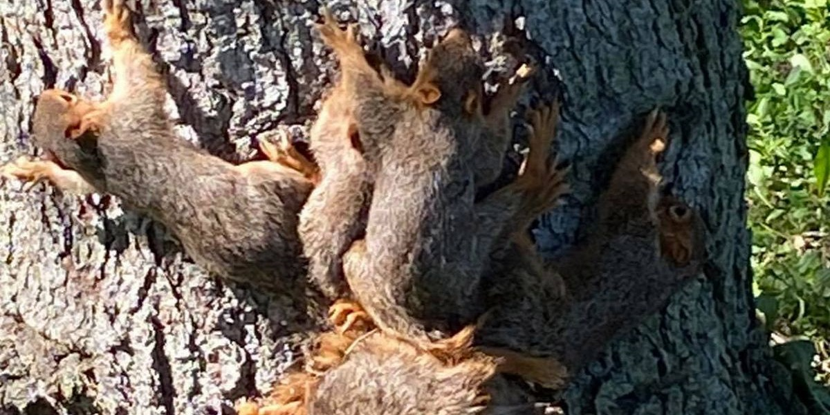 Police helps to free seven newborn squirrels who got tangle with their tails