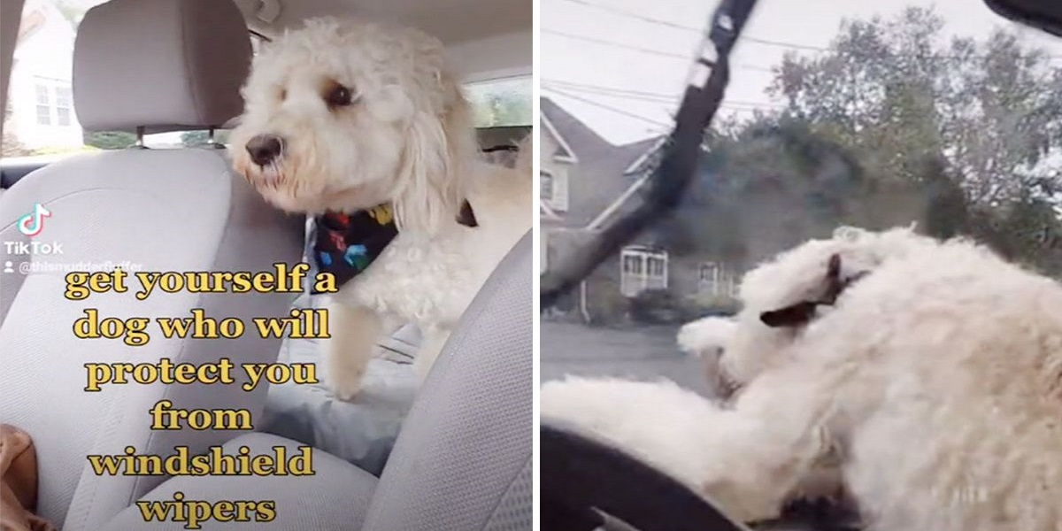 Charming video: Brave dog 'protects' his owner from car windshield wipers