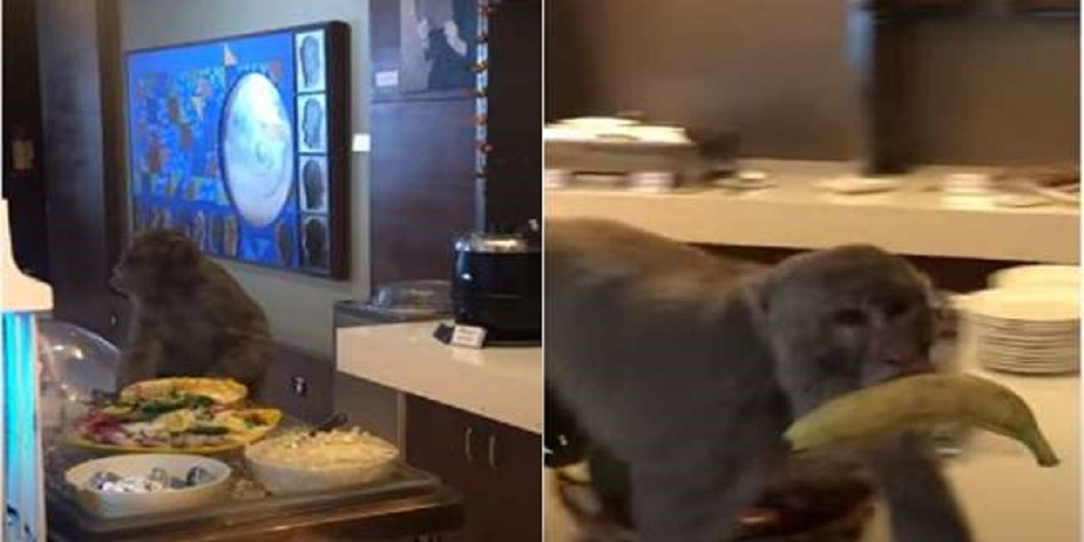 Wild monkey enters into Airport's VIP lounge In India