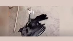 Watch: Cops use a drone and a knife to free a pigeon entangled in a high-voltage cable