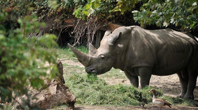 World's oldest white rhino dies in Italian zoo aged 54