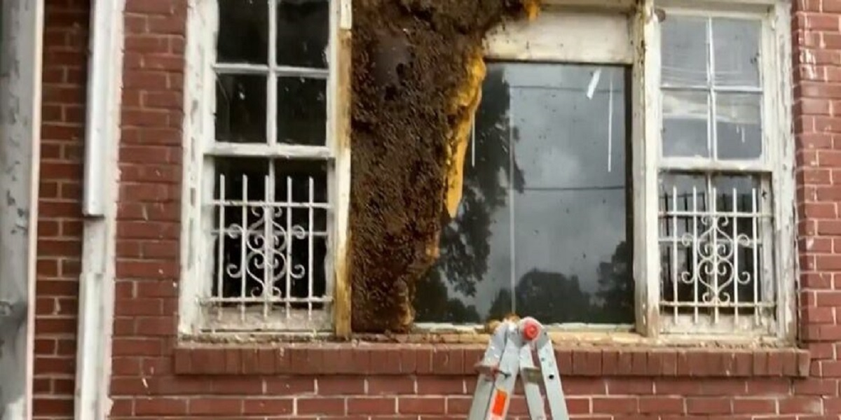Thousands of bees evacuated from an empty house in Atlanta