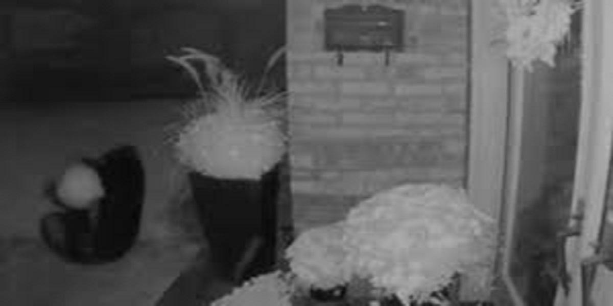 Bear tries to steal a big pumpkin from an Ontario porch