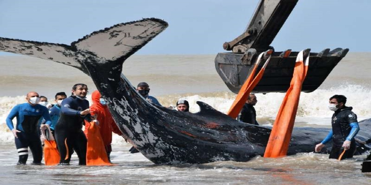 After hours-long rescue mission, a beached humpback whale was saved