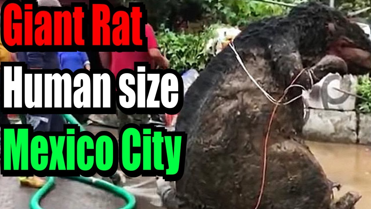 Human size giant Rat found in Mexico makes around on social media