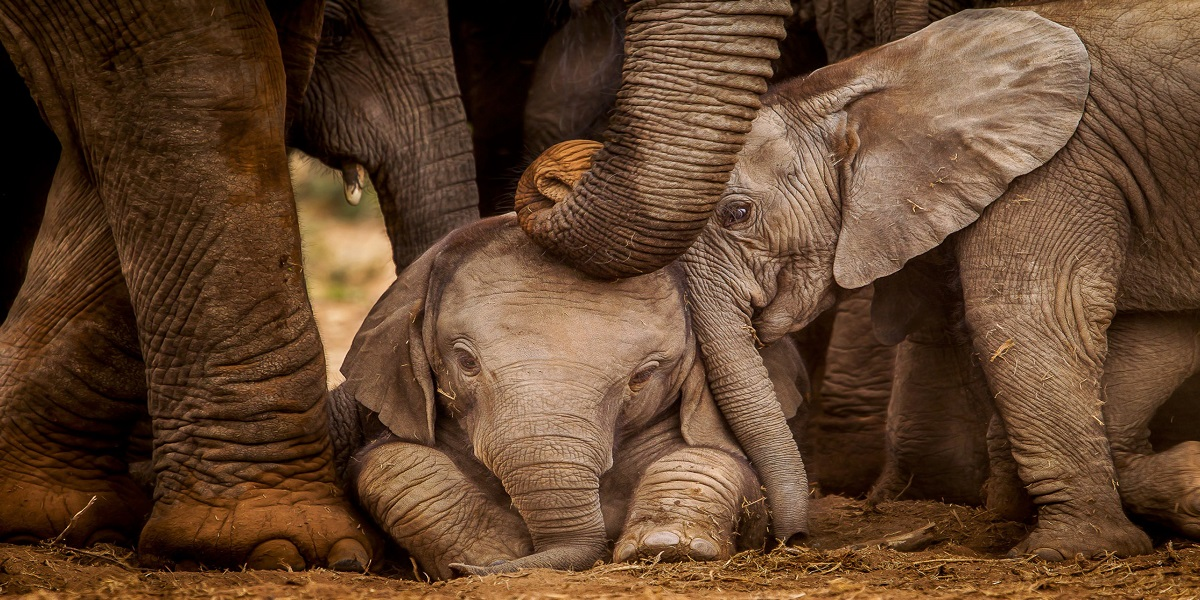 'Humanity still alive': Forest officers helps injured baby elephant finding its mother