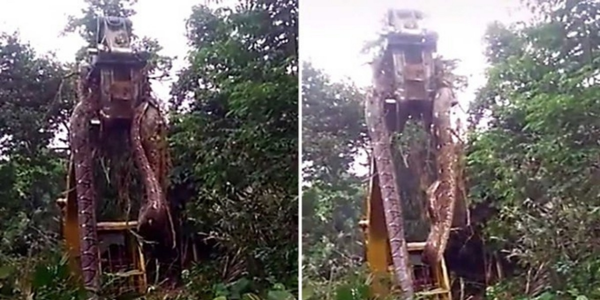 Massive snake being lifted by a crane in a Caribbean forest has gone viral